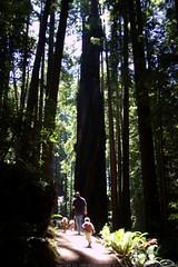 walking in the humboldt redwoods    MG 1167