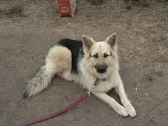 dog breed, german shepherd dog, animal, dog, czechoslovakian wolfdog, pet, mammal, wolfdog, saarloos wolfdog,