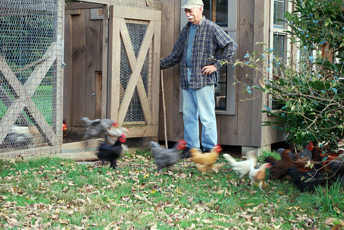 the running of the chickens
