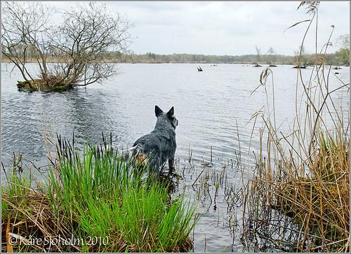 blue geotagged nikon geocaching sweden australian cattledog nikkor heeler 2010 1755 caisa surstubben karedogs ageröd gc250yn geo:lat=559328236930346 geo:lon=134204557029889