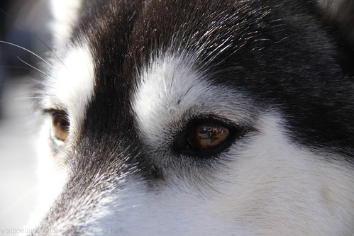 5743885083 832fee7173 Nice Siberian Husky photos