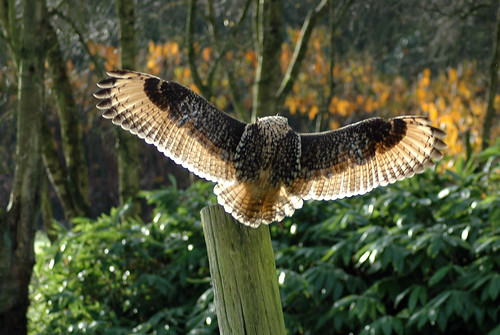 Bengal Eagle Owl landing on post