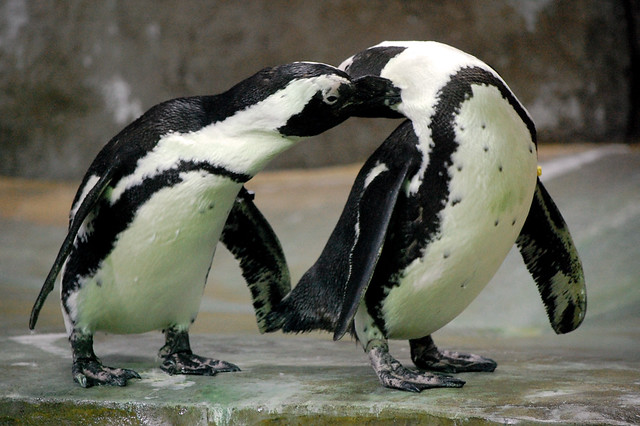 Aninimal Book: Two Penguins kissing | Flickr - Photo Sharing!