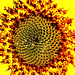 Sunflower Sunburst