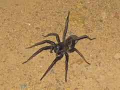 arthropod(1.0), animal(1.0), spider(1.0), araneus(1.0), invertebrate(1.0), fauna(1.0), tarantula(1.0), wolf spider(1.0),
