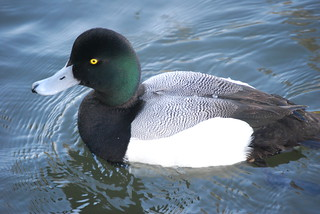 Greater scaup LMO 2