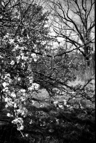 Apple Blossoms Webster co MS Hickory Ridge Studio
