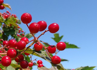 Red fruit from bush, against the sky, probably Viburnum