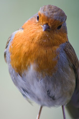 atlantic canary(0.0), canary(0.0), bluebird(0.0), animal(1.0), robin(1.0), european robin(1.0), fauna(1.0), finch(1.0), close-up(1.0), beak(1.0), bird(1.0),