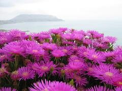 dorotheanthus bellidiformis, annual plant, flower, flora, ice plant, pink, petal,