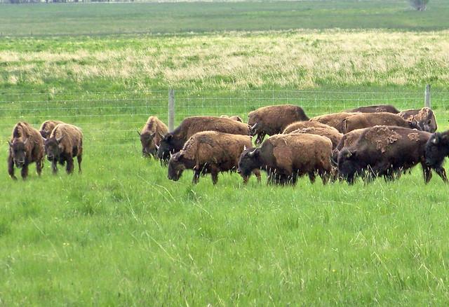 AB09f332 Bison Ranch, Alberta 2009