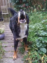 dog breed(1.0), animal(1.0), dog(1.0), hovawart(1.0), pet(1.0), bernese mountain dog(1.0), carnivoran(1.0),