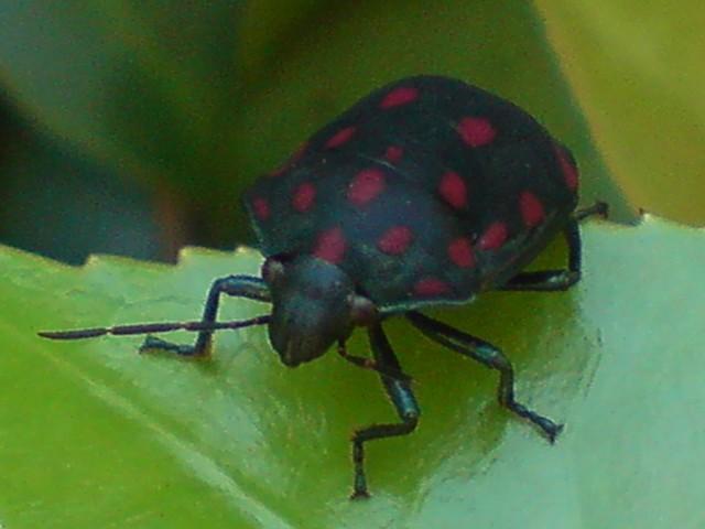 Pachycoris torridus (Scutelleridae) | Explore jarbas mattos ...