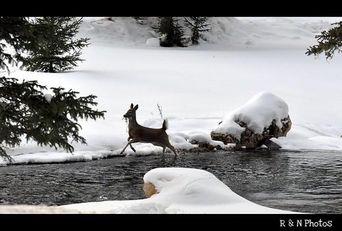 winter snow cold tree ice water southdakota spearfishcanyon start nikon stream deer evergreen twig sweep d90 18105vr