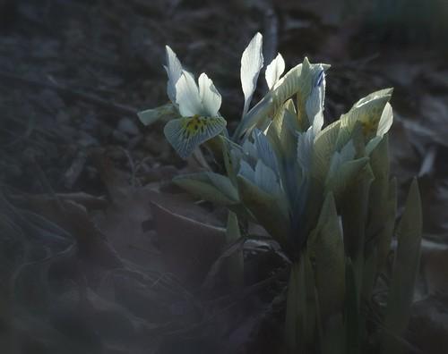 ohio cleveland rockgarden dwarfiris kirtland holdenarboretum itsallaboutthelight lanterncourt irishistrioideskatharinehodgkin