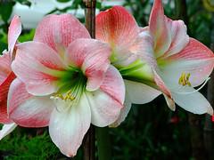 amaryllis belladonna(1.0), lily(1.0), flower(1.0), plant(1.0), macro photography(1.0), flora(1.0), plant stem(1.0), daylily(1.0), petal(1.0),