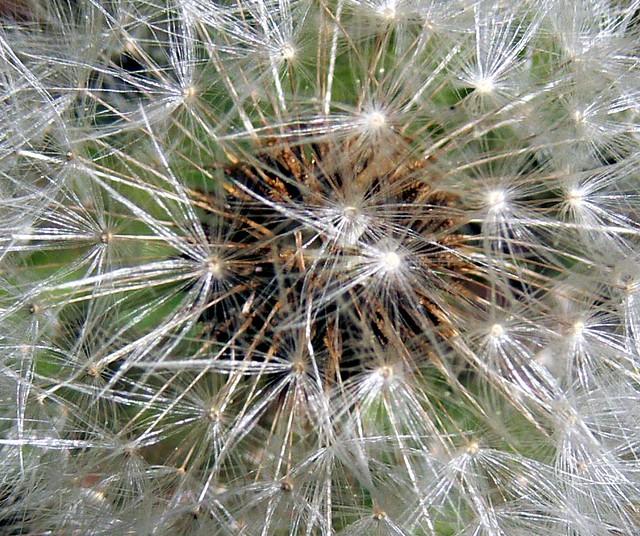 Macro Photo of a Dandelion - Taraxacum flower