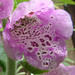 Foxglove Macro (Digitalis purpurea)
