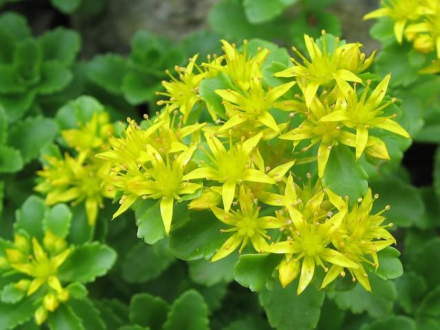 1 Point Safety >> Yellow Sedum | Flickr - Photo Sharing!