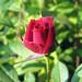 Rosaceae 薔薇科