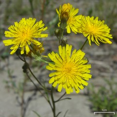 annual plant, dandelion, flower, yellow, plant, sow thistles, flatweed, herb, flora,