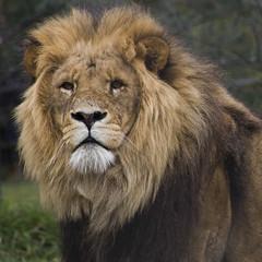 animal(1.0), mane(1.0), big cats(1.0), masai lion(1.0), lion(1.0), mammal(1.0), fauna(1.0), whiskers(1.0), safari(1.0), wildlife(1.0),