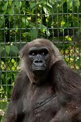Toronto Zoo - gorilla