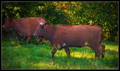 663 Cows