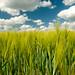 Small photo of Wheat field