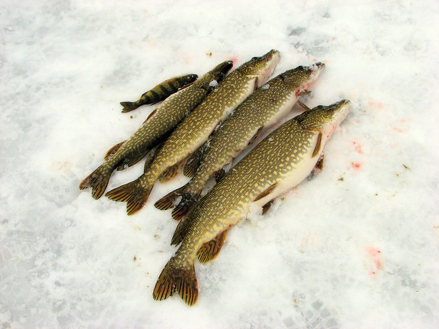 northern pike ice fishing flickr photo sharing