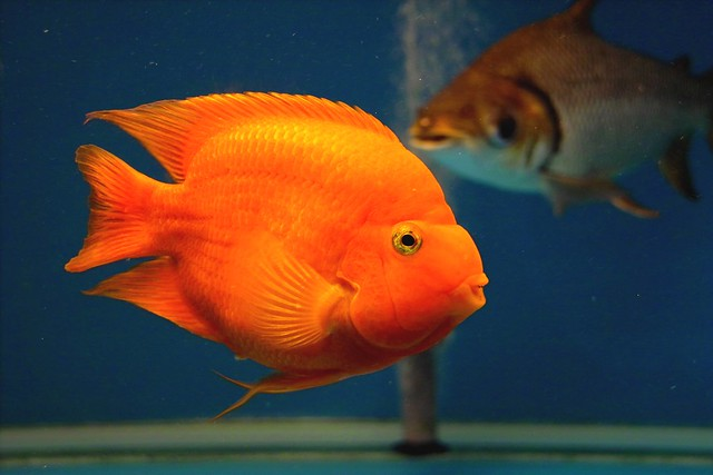 Blood parrot fish flickr photo sharing for Blood parrot fish