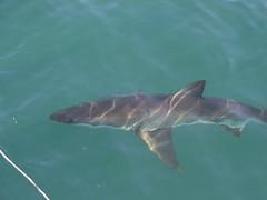 animal, fish, great white shark, shark, marine biology, dolphin, carcharhiniformes, requiem shark,