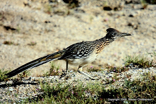 california statepark geotagged photo geococcyxcalifornianus desertroadrunner geo:lat=3325782770 geo:lon=11640636340 geotaggedanzaborrego