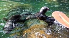 animal, sea lion, marine mammal, marine biology, fauna, sea otter, wildlife,