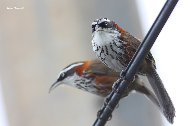 小彎嘴 Streak-breasted Scimitar Babbler