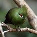 Green Crested Turaco by Megan Lorenz