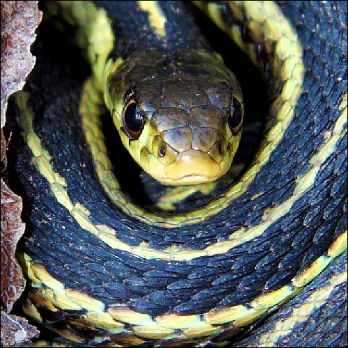 ontario black yellow snake gartersnake justkidding thamnophisbutleri snakesonaplane digitalcameraclub mywinners platinumphoto theunforgettablepictures viamoi goldstaraward 100commentgroup