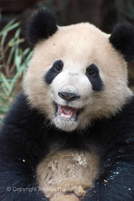 Smiling Panda | Flickr - Photo Sharing!