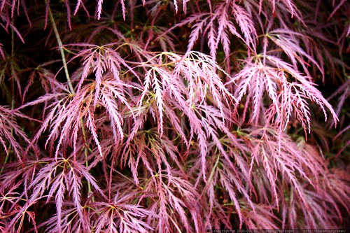 japanese maple leaves    MG 3372