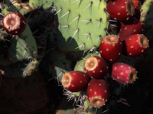 red arizona cactus plant detail nature closeup fruit composition pricklypear mesa cactusfruit pricklypearfruit linksindescription seeotherphotos onmystream