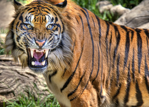 Terrific Pictures of Roaring Tigers - photo#16