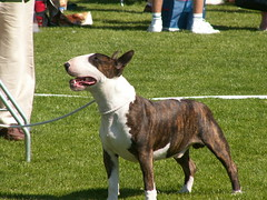 bull and terrier(0.0), old english bulldog(0.0), olde english bulldogge(0.0), american staffordshire terrier(0.0), american pit bull terrier(0.0), toy bulldog(0.0), american bulldog(0.0), boston terrier(0.0), bulldog(0.0), terrier(0.0), dog breed(1.0), animal(1.0), dog(1.0), pet(1.0), bull terrier (miniature)(1.0), conformation show(1.0), carnivoran(1.0),