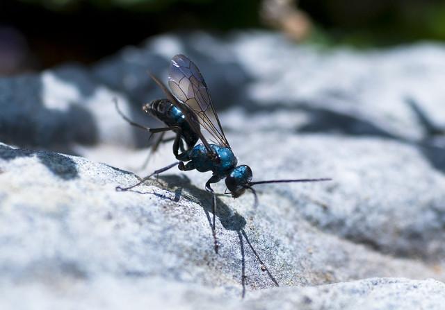 WASP WASP