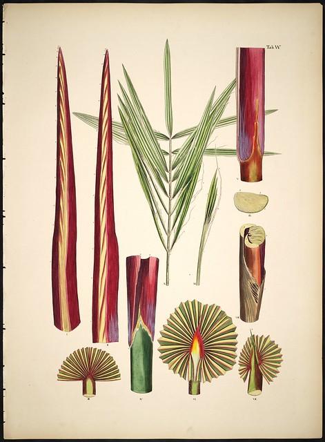 Palm species