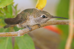 wren(0.0), nightingale(0.0), pollinator(1.0), animal(1.0), hummingbird(1.0), branch(1.0), nature(1.0), fauna(1.0), close-up(1.0), beak(1.0), bird(1.0), wildlife(1.0),