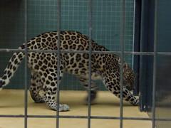 Digging leopard