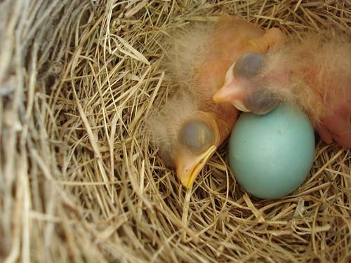 baby robins ©2011 jessi k