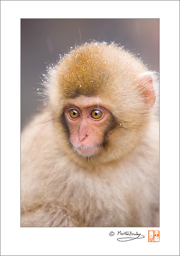 Wide Eyed! - Macaque #30