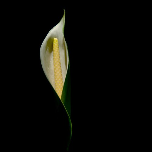 peace_lily_on_black