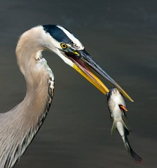 Great Blue Heron with Dinner